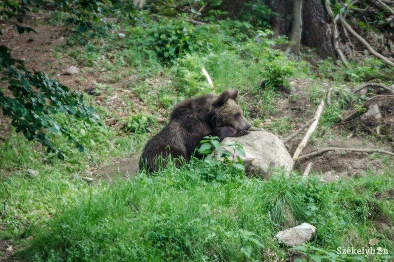Medve kószált Ditró központjában, a hatóságok nem kaptak bejelentést