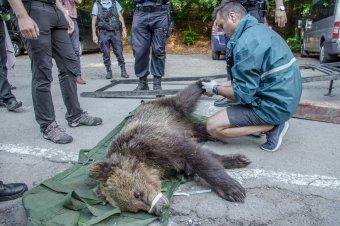 Tizenkét medvét helyeztetnének át a tusnádfürdői illetékesek
