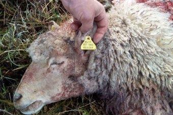 Hamvasztás helyett elásták a felborult hajón elpusztult juhok egy részét, eljárás indult az ügyben