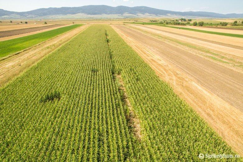 Faluszéli kukoricásban tanyázik a medvecsalád