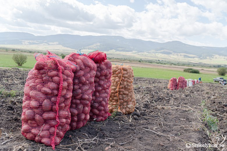 Románia a hetedik legnagyobb burgonyatermesztő az EU-ban, húsz év alatt jelentősen zsugorodott a krumpliföldek kiterjedése