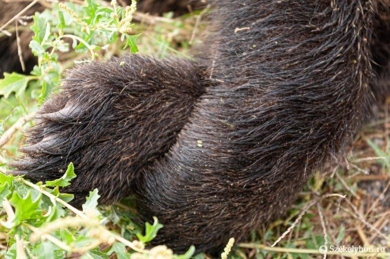 Lelőtte a feléje szaladó medvét, most orvvadászat gyanújával vizsgálódnak ellene