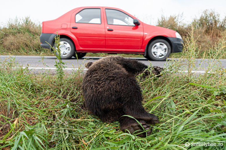 Ismét medvék pusztultak el Maros megye közútjain