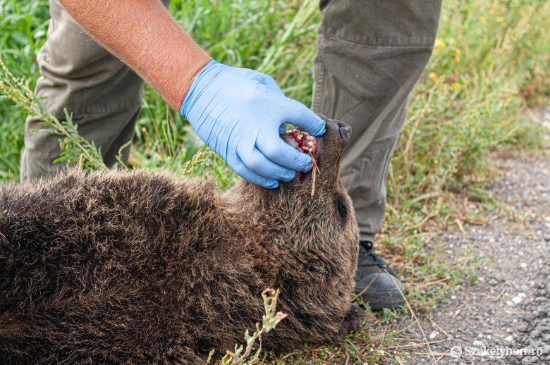 Medvebocsot pusztíthatott el egy másik medve