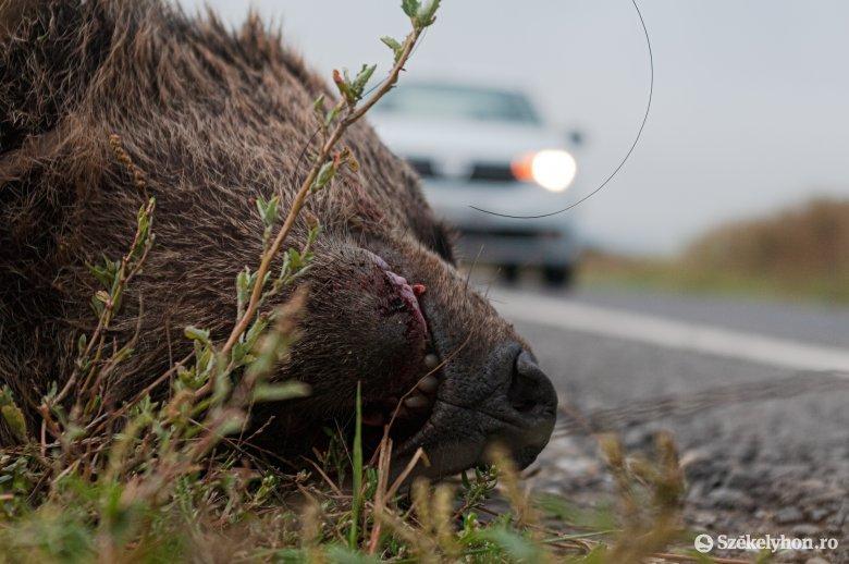 Pár nap alatt két medvét is elütöttek ugyanazon az útszakaszon – az egyik továbbállt, a másik elpusztult