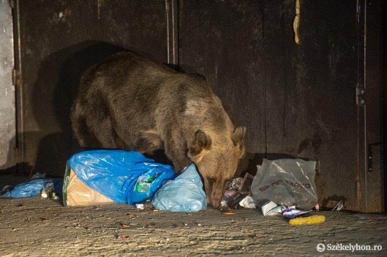 Bocsos medvét űztek el Tusványos közeléből a csendőrök