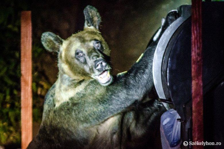 Ittas állapotban vezetett, ütközött, majd egy medvére fogta a balesetet