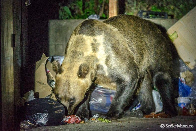 Medvék miatt riasztották a hatóságokat Tusnádfürdőn és Vaslábon