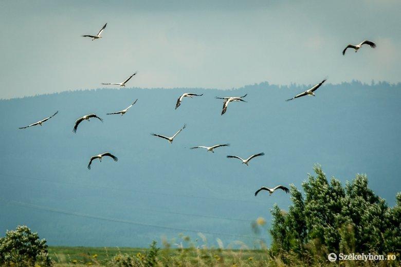 Ha a természet nem, hát adott az ember ellenséget a gólyának
