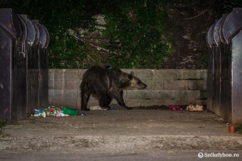 Nagyon környékezik Marosvásárhelyt a medvék