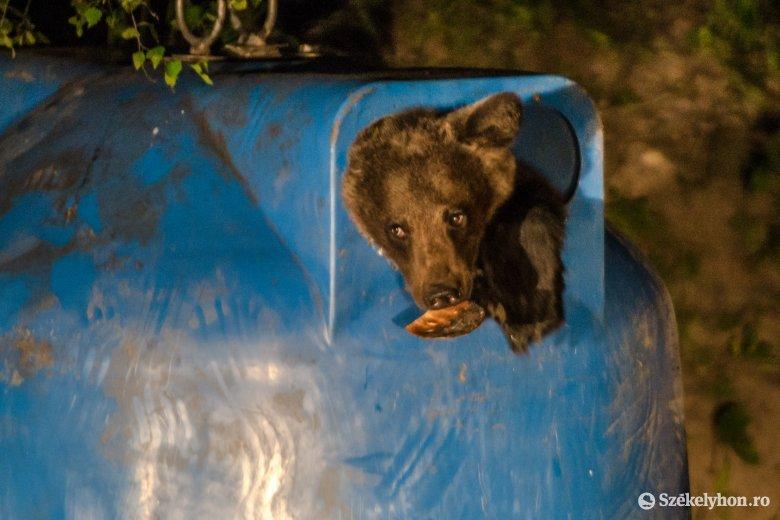 Áthelyezik egy másik területre a Tusnádfürdőre napi rendszerességgel bejáró medvét