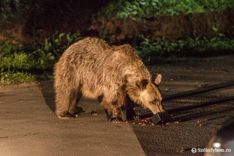 Figyelmeztető lövésekkel kergették el a Székelyudvarhelyre betérő medvét