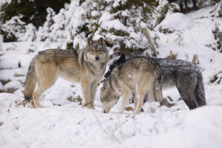Az emberre nem, a szabadon hagyott háziállatokra viszont veszélyesek a farkasok