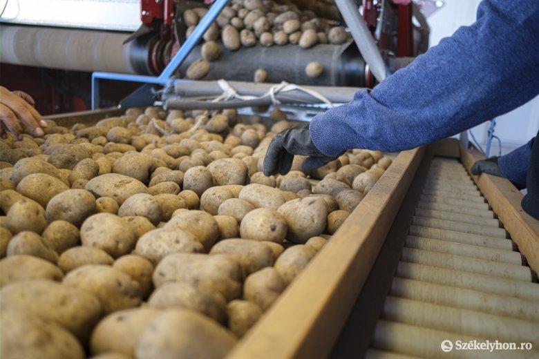 Tavalyhoz képest 30–40 százalékkal csökkent az idei burgonyatermés Hargita megyében