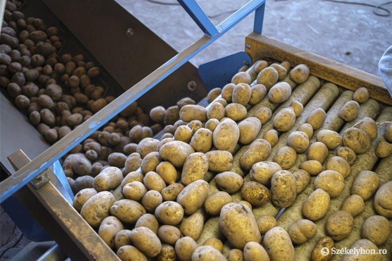 Jó a háromszéki krumplitermés, de visszaesett az ár