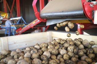 Drágább volt megtermeszteni a krumplit, mint amennyiért el lehet adni