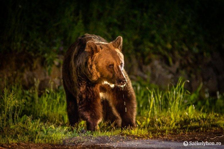 Már egy egyszerű kirándulás is veszélyessé vált a medveproblémák miatt