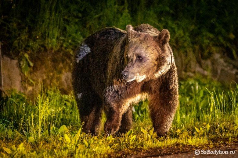 Medvetámadás: tizenötezer euró kártérítést ítéltek meg a sérültnek