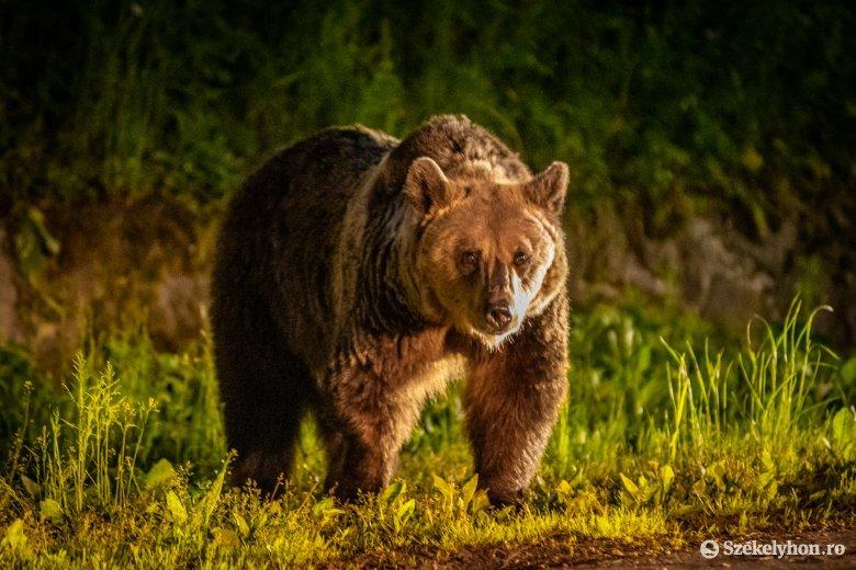 Esti támadás: úgy tűnik, csak ellökte a medve, de az áldozat így is fejsérülést szenvedett