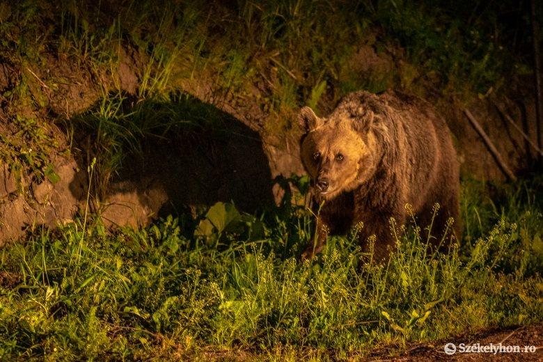 Magyarországi medveotthonba kerülhet néhány a tusnádfürdői medvék közül