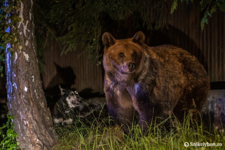 Nyílt levélben fordult az ország vezetőihez a medvejárás miatt Tusnádfürdő polgármestere