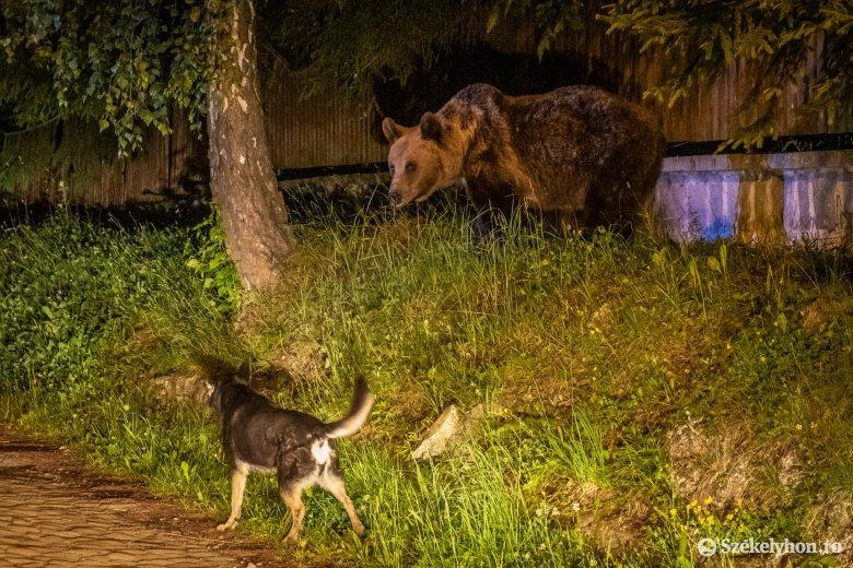 Elköltöztetik a Vásárhelyen sétáló medvét