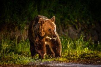 Maroshévízen és Tusnádfürdőn egy nap alatt ötször riasztották medvékhez a hatóságokat