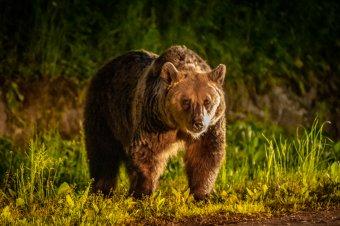 Nyolc juhot és négy bárányt pusztított el egy medve Fehér megyében