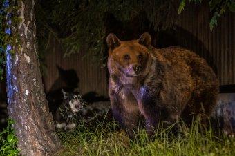 A medvepopuláció tudományos felmérését követelik a vadászegyesületek az Arthur-ügy után