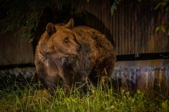 Focipályára fészkelte be magát bocsaival együtt egy medve Marosfőn
