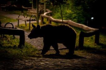 Kampányban nem merik kilőni a medvéket, az újabb menhelyek, villanypásztorok sem segítenek sokat
