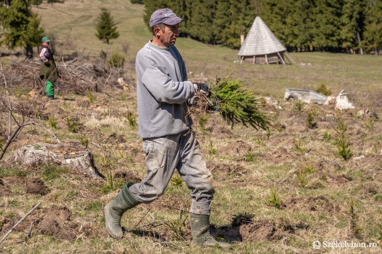 Több mint húszezer fenyőcsemetét ültetnek Csíksomlyó környékén