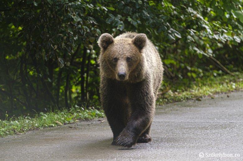 Rátámadt a lakosokra, elpusztították a medvét a Vrancea megyei faluban