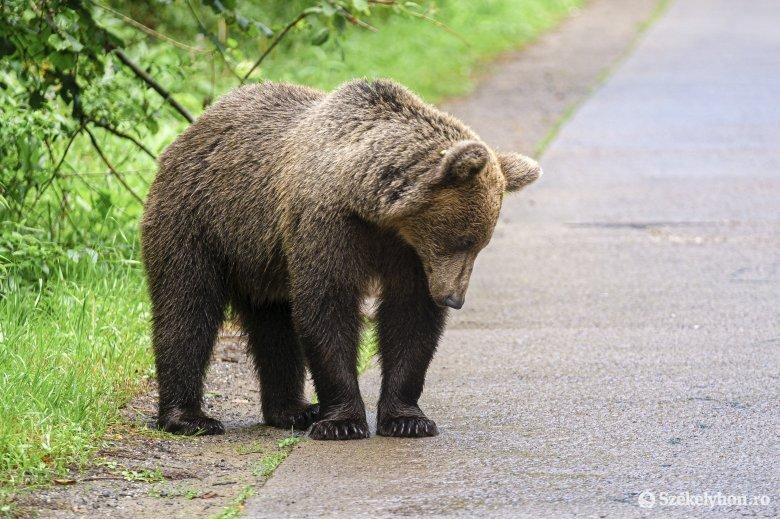 Balánbányán és Tarcsafalván volt medvejárás a hétvégén