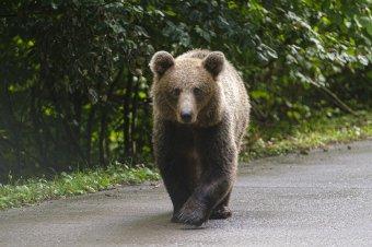 Súlyosan megsebesített a medve egy férfit, nem tud eljárni a nyárádszeredai önkormányzat