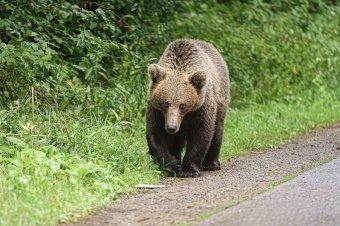Még csak szeptember elején vagyunk, de már 28 riasztást küldtek ki a hónapban medvék miatt