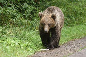 Ezért merészkedik be egyre több medve a lakott területekre Székelyföldön