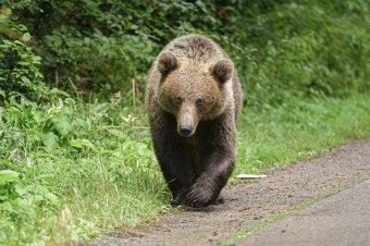 Újabb medvetámadások Hargita megyében, az elmúlt két hétben négyszer sebesített meg embert a nagyvad