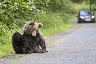 Egyre csak nő a szám: idén már több száz bejelentés érkezett medve miatt Hargita megyében