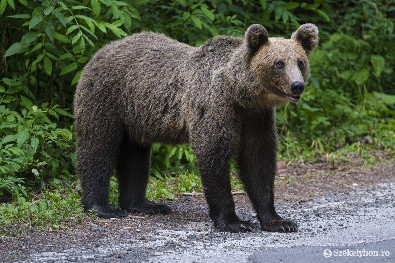 Disznópásztort sebesített meg a medve Csíkcsicsó közelében, az áldozat műtétre szorult
