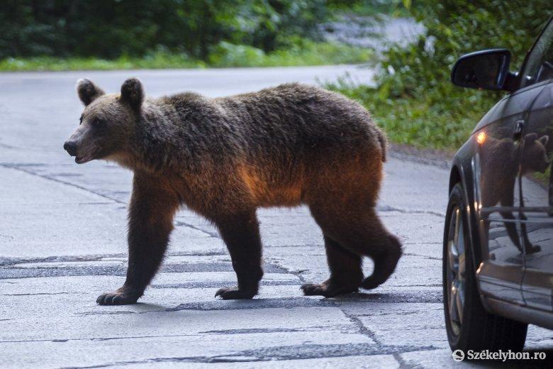 Ennyiszer riasztották a hatóságokat medve felbukkanása miatt Hargita megyében a hétvégén