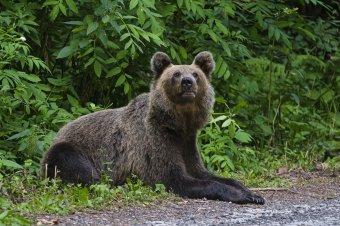 Most a csíkszeredaiakon volt a sor, hogy medveriasztásra ébredjenek