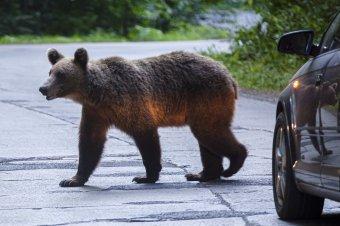 Jóváhagyta a szenátus a veszélyes medvék eltávolítását célzó törvénytervezetet