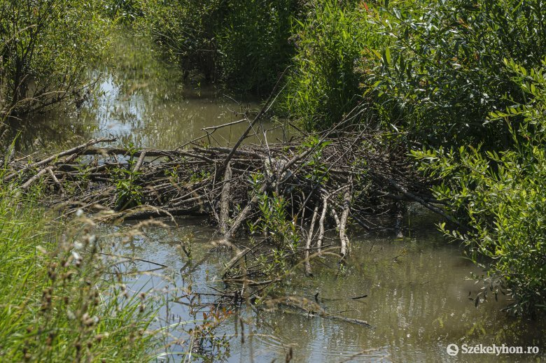 Árvízvédelmi létesítményeket is veszélyeztetnek a hódok, de a cukorrépára is rákaptak