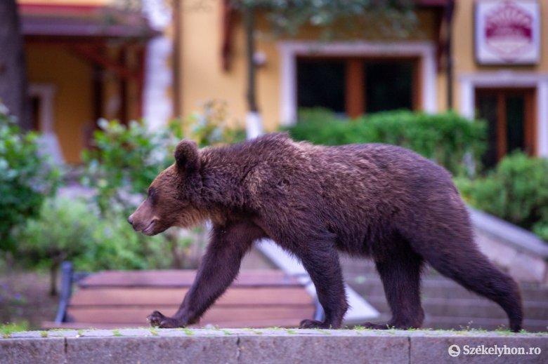 Medvét vagy életet? Zöld lobbi az erdőből nézve