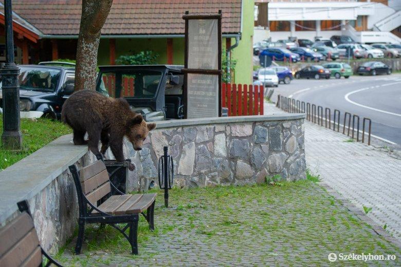 """Nehezen """"szelídíthető"""" meg a medveprobléma: sok még az ismeretlen a nagyvadak azonnali eltávolítása körül"""