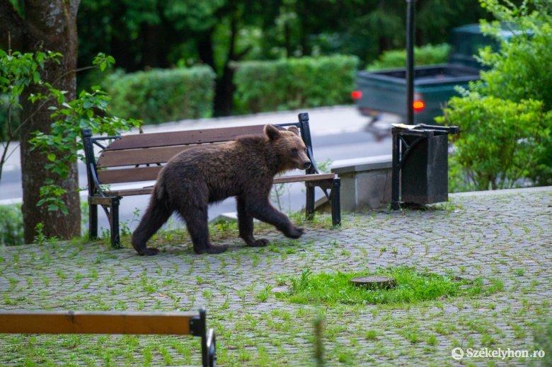 Felmérik a romániai medvepopulációt
