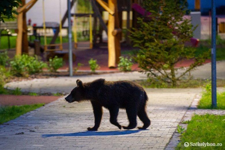 Az Agent Green szerint a kormányrendelet több száz ártatlan medve lemészárlásához vezet, a PSD az ombudsman beavatkozását kéri