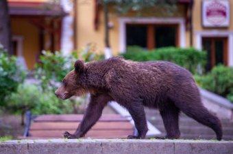 Medvét vagy életet? Zöldlobbi az erdőből nézve