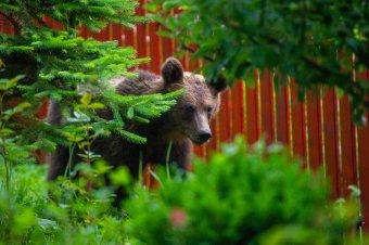 Elfogadta a kormány az azonnali beavatkozás lehetőségét az emberéletet veszélyeztető medvék esetében
